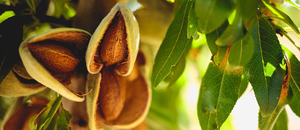 amendoa-quinta-da-ribeirinha